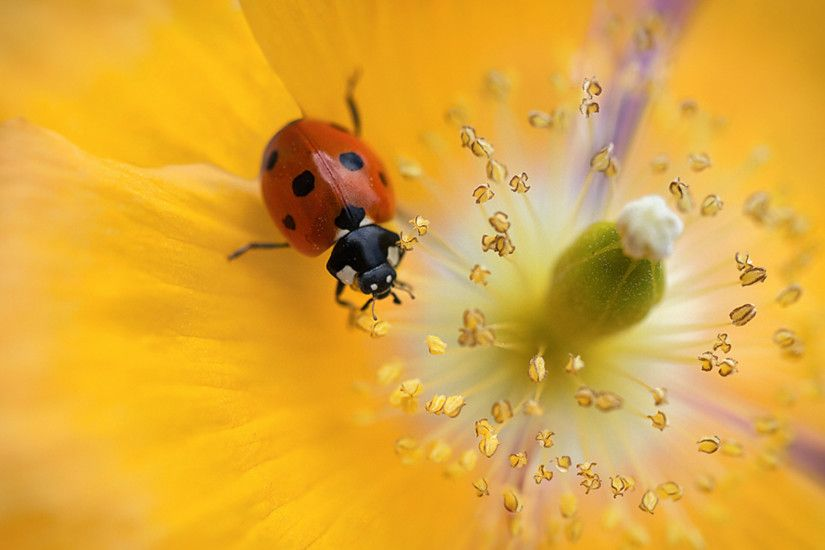 Related Wallpapers from Koala Wallpaper. Ladybug yellow flower