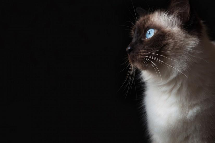 Blue Eyes Grumpy Cat HD Wallpaper