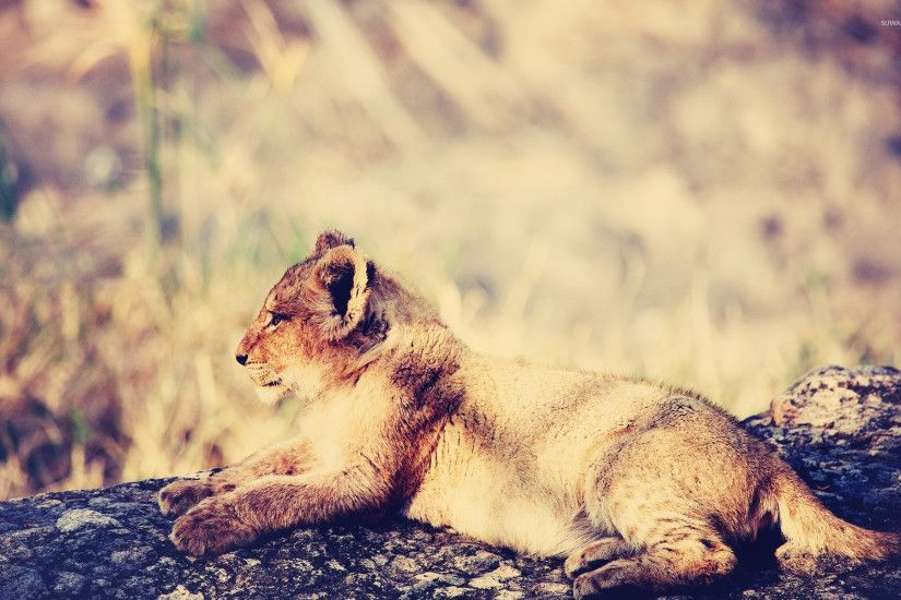 Lion cub [3] wallpaper