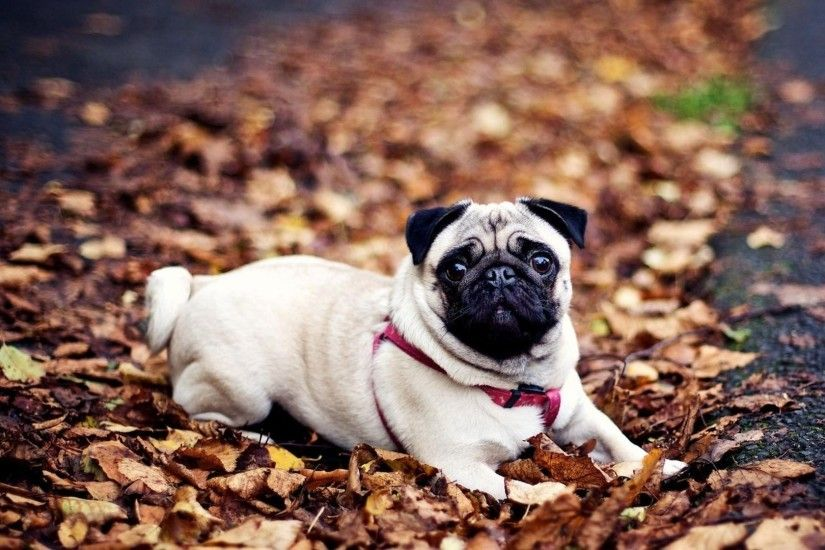 Funny Pug Wallpapers