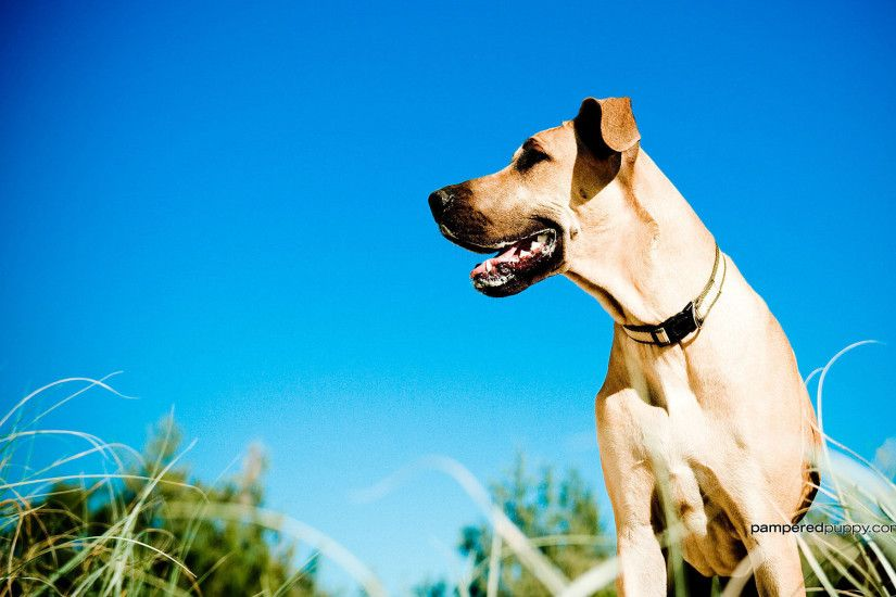 Great Danes images The Beautiful Great Dane HD wallpaper and background  photos