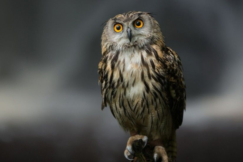 Related Wallpapers from Otter Wallpaper. Owl Serious look