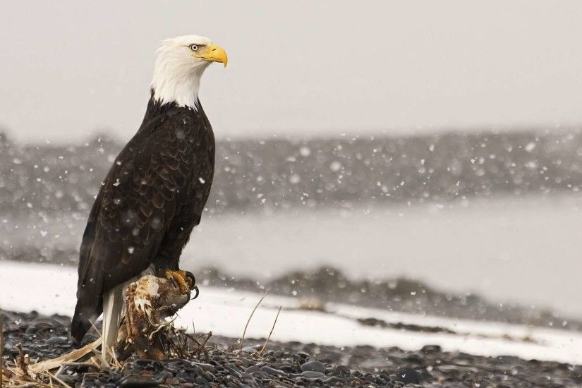 17 HD Eagle Bird Wallpapers
