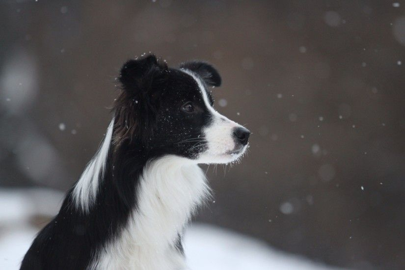 2302x1532 Wallpaper border collie, dog, spotted, snow