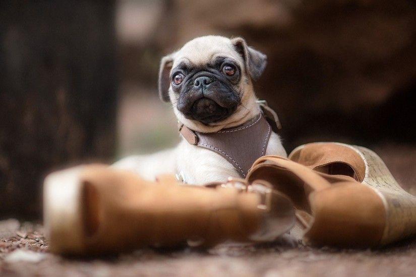 "1152x864 47 Very Cute Pug Puppy Pictures And Photos Desktop Background"">"