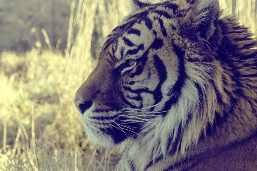 ... Tiger Wallpapers In HD Group