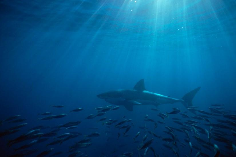 great white shark australia hd wallpaper,backgrounds,hd,images,search .