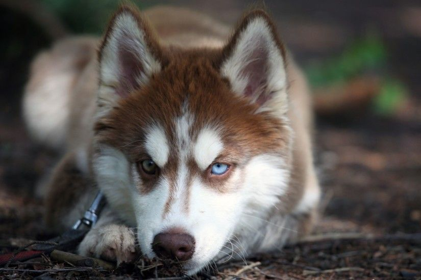 Brown Siberian Husky Dog Photo