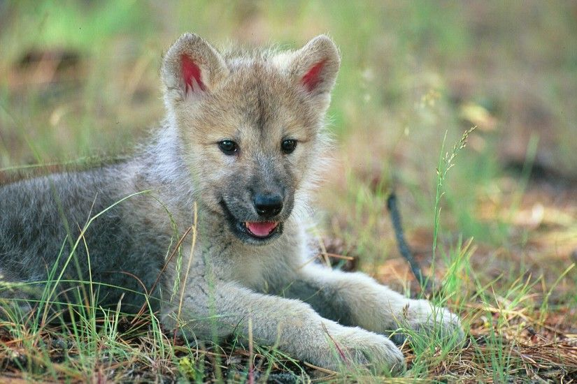 wolf pup free