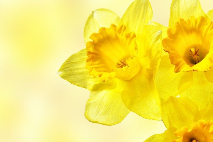 daffodils, Flowers, Yellow Flowers Wallpapers HD / Desktop and Mobile  Backgrounds