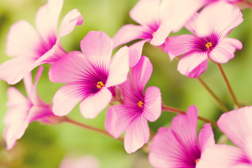 pretty flowers | free wallpaper of flowers: pretty Purple Verbena in the  background of .