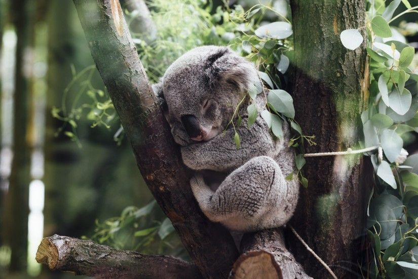 4K HD Wallpaper: Koala Bear at Zoo