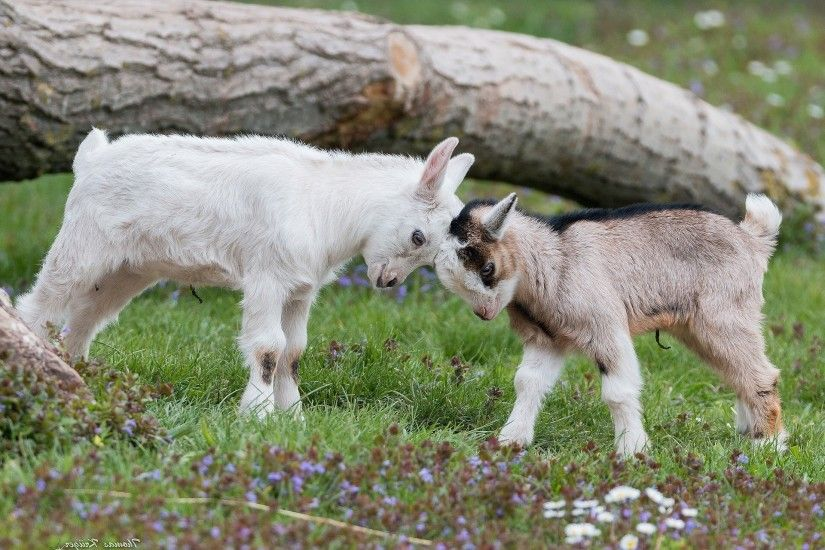 animals nature grass wildlife farm baby animals goats sheep pasture goat  herd meadow fauna mammal 2048x1280