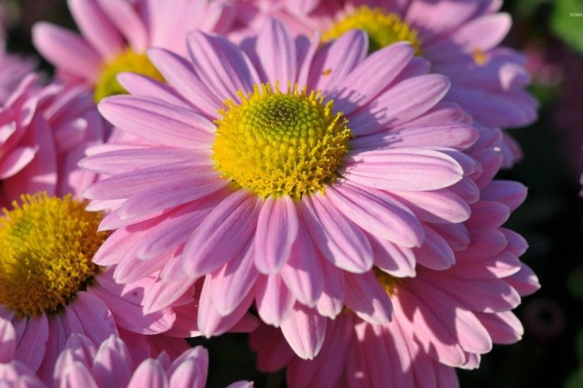 pink daisy Wallpaper Background