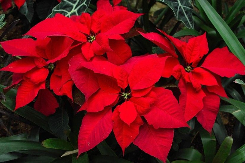 2200x1440 Wallpaper poinsettia, flower, bright, red