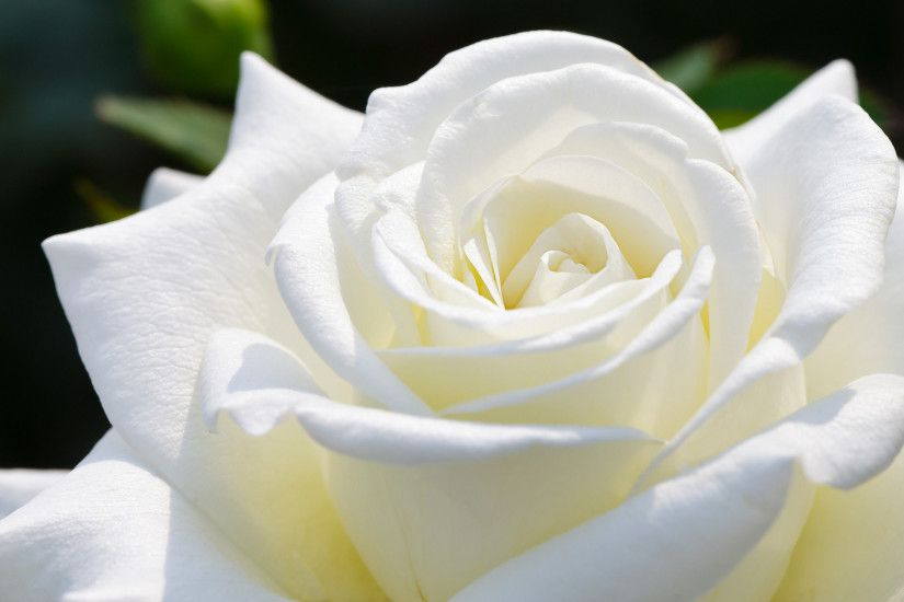Beautiful White Rose HD Wallpapers | HD Wallpapers Fit