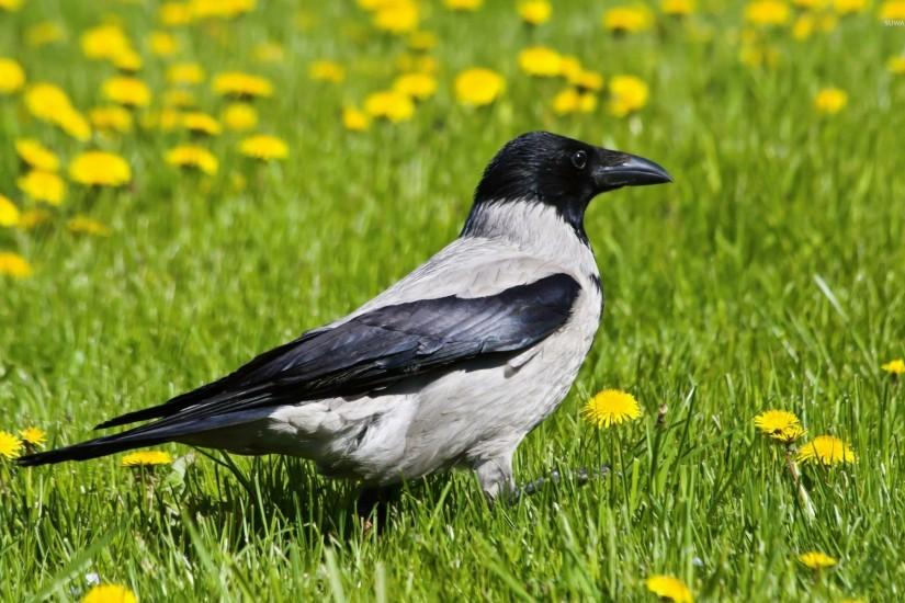 Hooded crow wallpaper