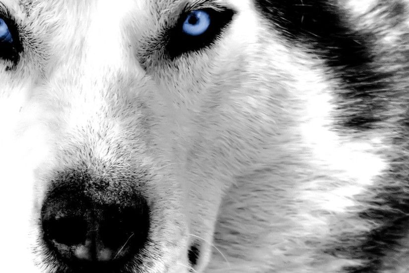 Siberian Husky Blue Eyes - wallpaper.