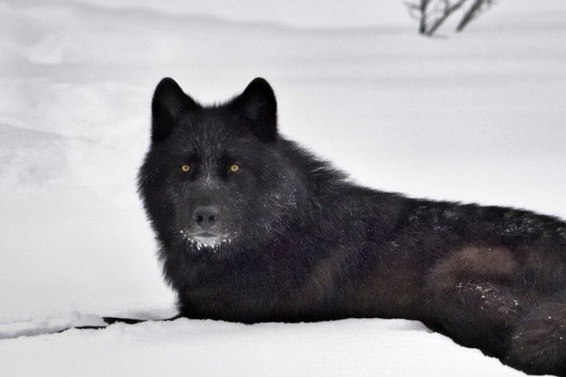 black wolf images wallpaper