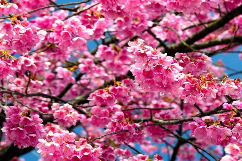 pretty flower tree HD wallpapers - desktop backgrounds