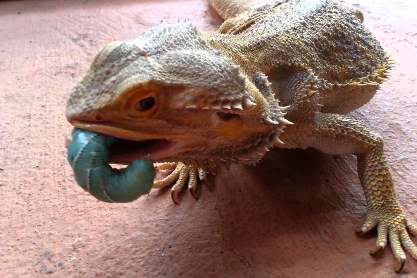 Bearded dragon eating - photo#23
