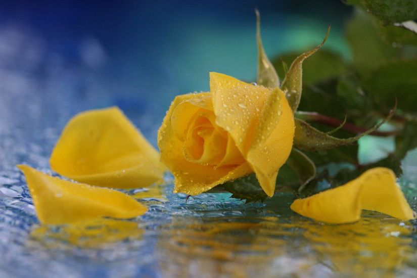yellow rose in water. Â«Â«