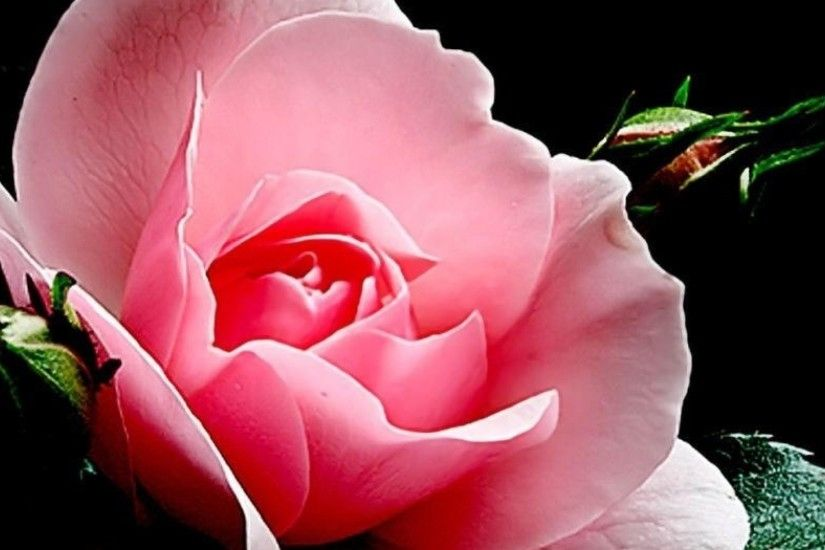 Preview wallpaper rose, flower, bud, petals, light, black background  3840x1200