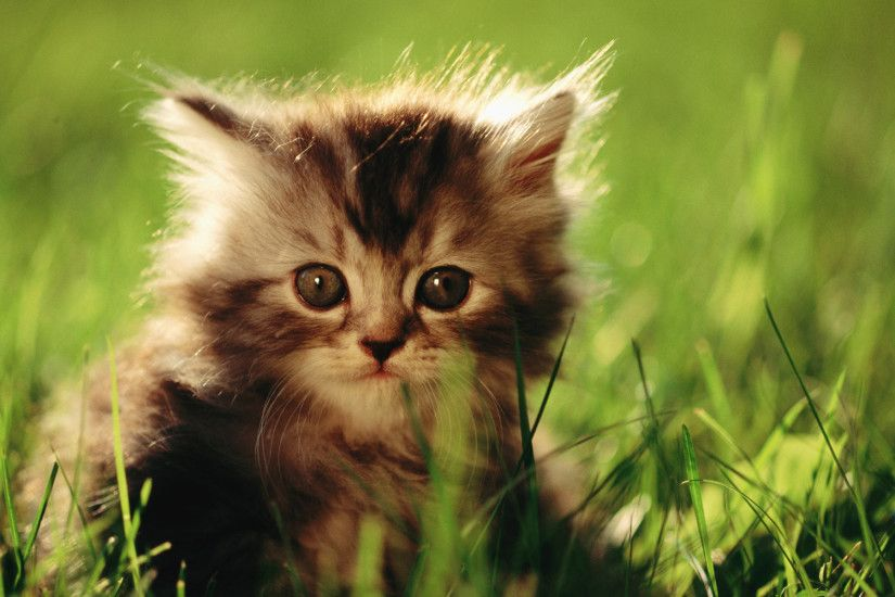 HD Sweet Kitty : Adorable Fluffy Baby Kittens Widescreen Wallpapers  1920*1200 Wallpaper 33