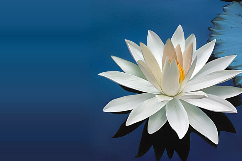 ... Nature Wallpaper with Beautiful White Lotus Flower