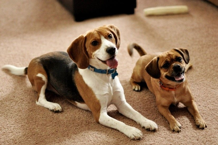 Preview wallpaper beagle, puppies, couple, sit, waiting, dogs 1920x1080