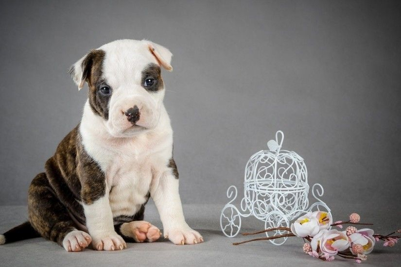 Cute pitbull puppy wallpaper - Animal wallpapers - #50668