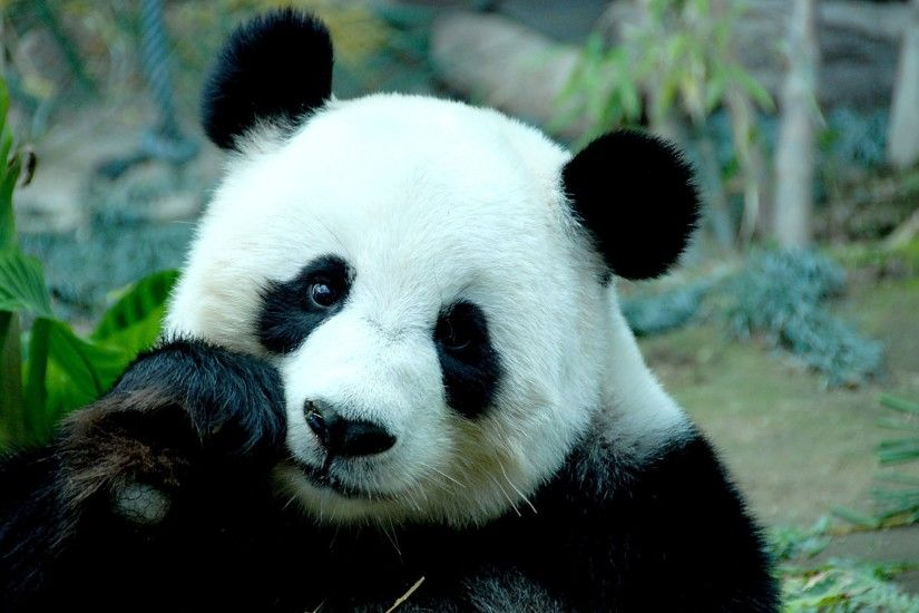 panda bear bamboo face