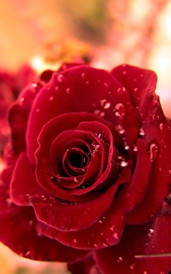 HD Red Rose Wallpaper iPhone resolution 1200x1920
