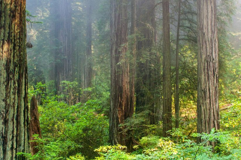 Foggy morning in Redwood National Park [1920x1080] ...