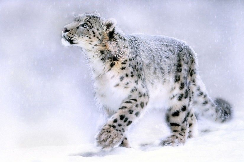 Most Beautiful Snow Leopard Wallpapers
