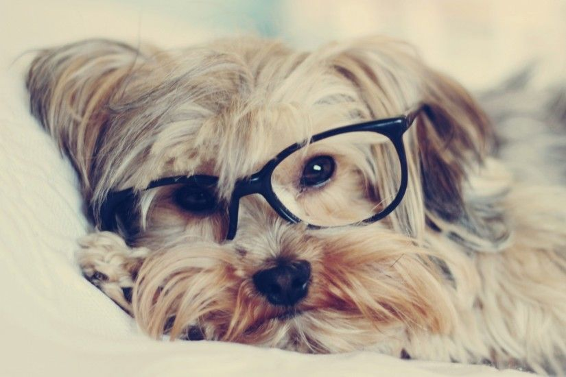 2048x1152 Wallpaper yorkshire terrier, face, glasses