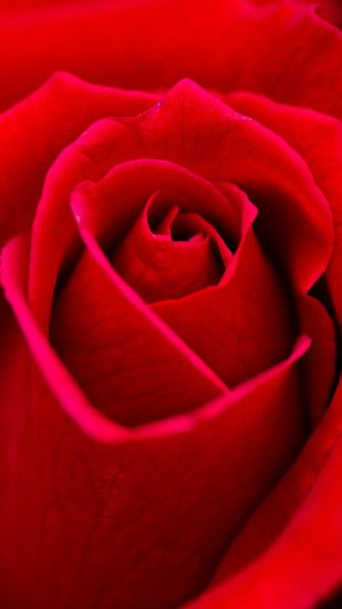Rose htc one wallpaper