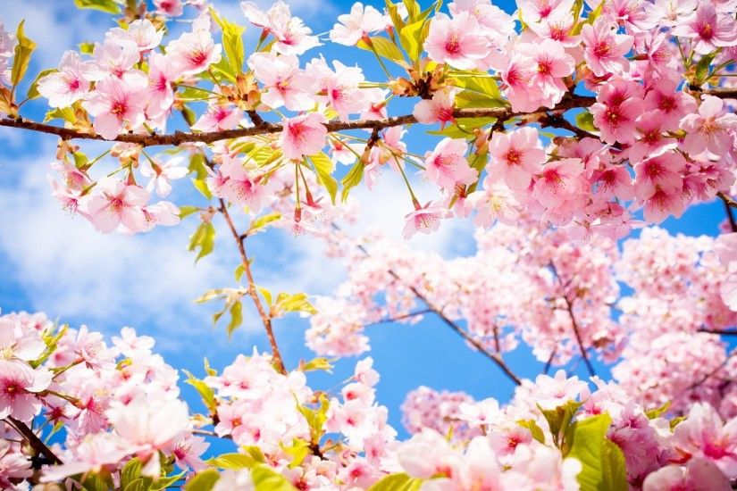 Lovely Cherry Blossom Wallpapers to brighten your Desktop | HD Wallpapers |  Pinterest | Blossom trees, Tree wallpaper and Cherry blossoms