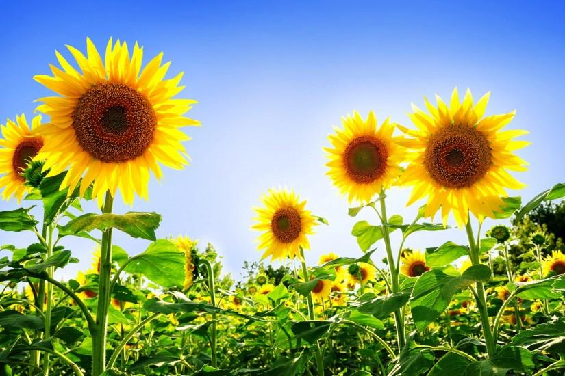 large sunflower wallpaper 1920x1200 for 1080p