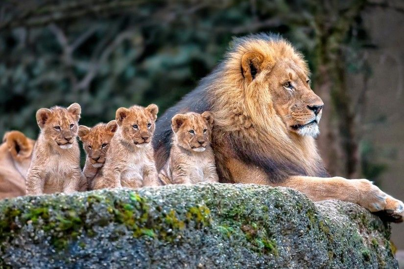 lion, Nature, Animals, Baby Animals Wallpapers HD / Desktop and Mobile  Backgrounds