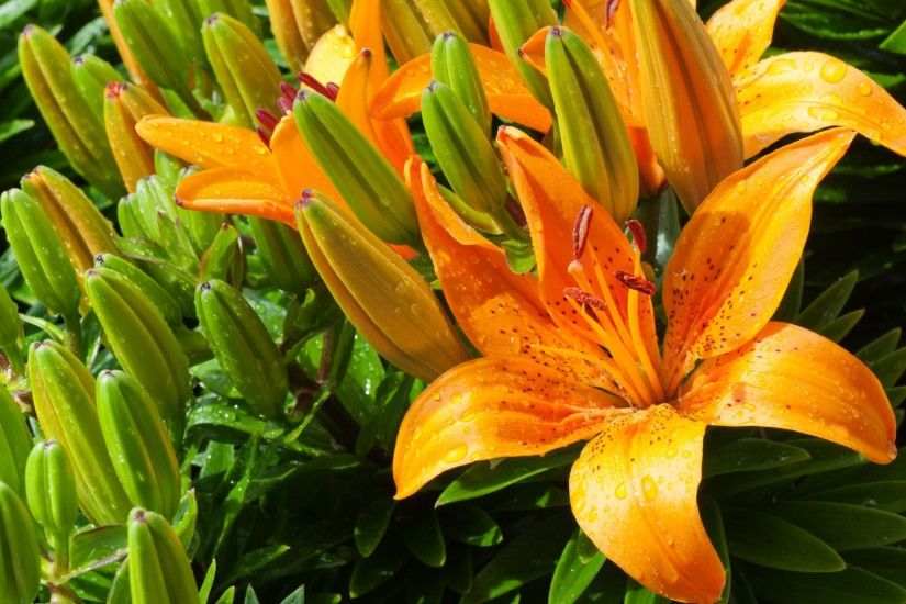 4K HD Wallpaper: Tiger Lily · Beautiful lilies in this photography took by  Jonathan