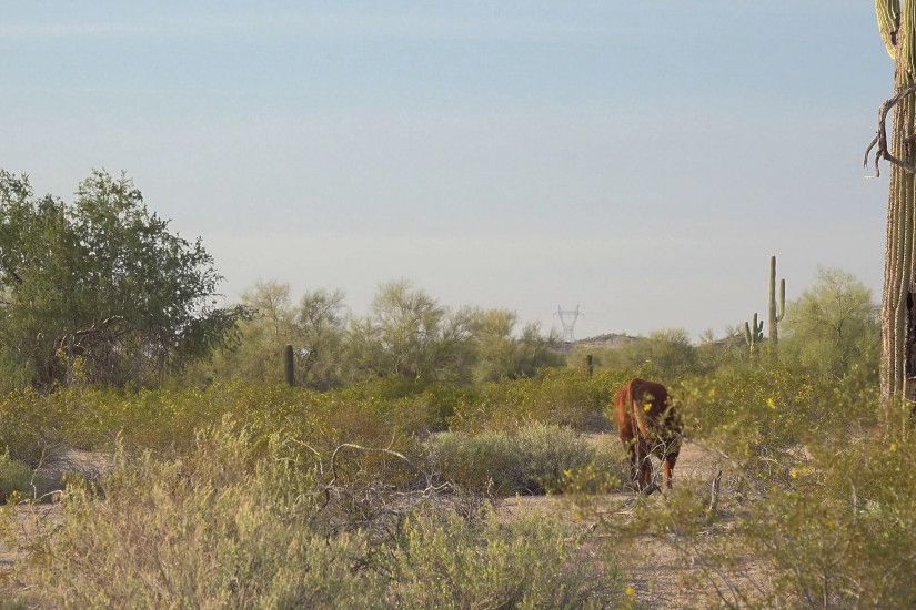 Free range cattle walking through the Arizona Desert with Saguaro Cacti in  the background Stock Video Footage - VideoBlocks