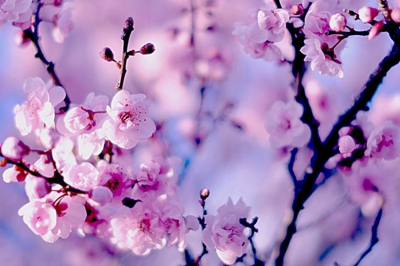 ... Cherry Blossom blooms under the sunshine and blur background in color  tone pastel bright. spring