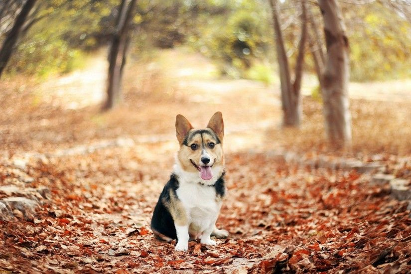 Top Pics Collection: Corgi Wallpapers, Corgi Desktop Wallpapers