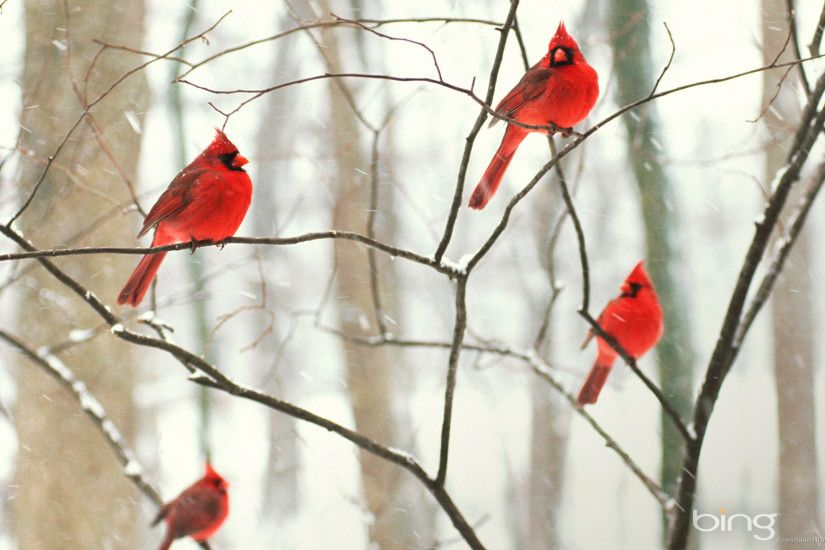 Bing Male Northern Cardinals In The Snow Picture For iPhone .