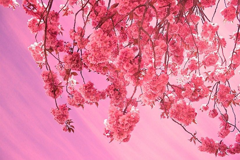 cherry blossom wallpapers for mac free