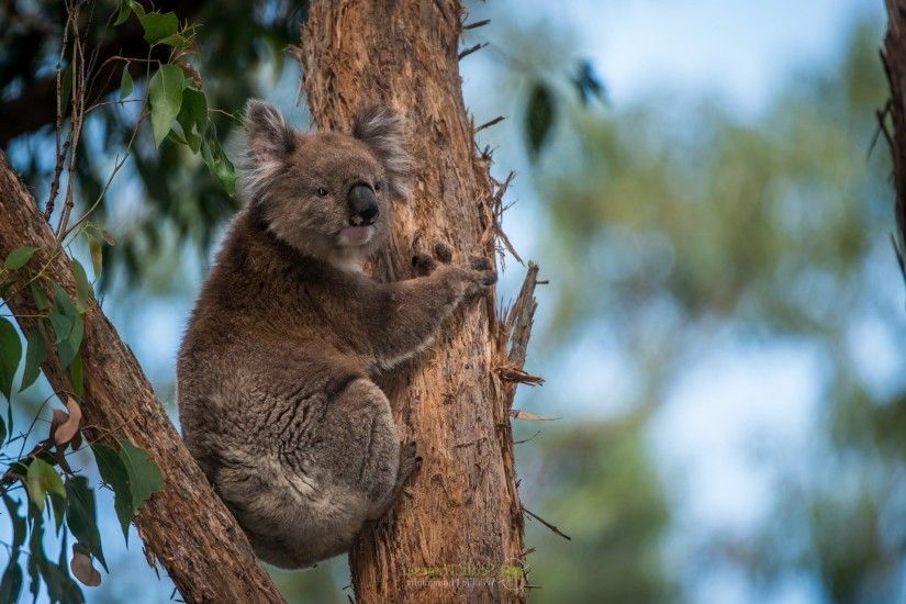 Melbourne Archibald - koala wallpaper pictures free - 1920x1080 px |  ololoshenka | Pinterest | Wallpaper pictures and Wallpaper