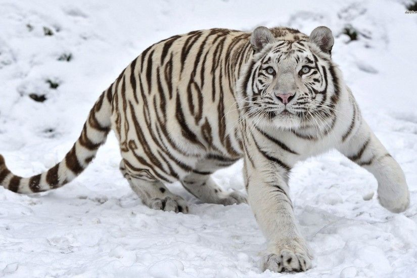 White Tiger Background Wallpapers WIN10 THEMES - HD Wallpapers