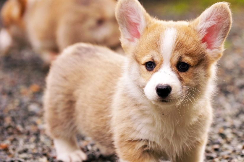 Welsh Corgi puppy wallpaper