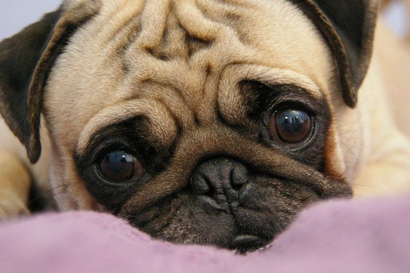 Preview wallpaper pug, puppy, snout, eyes, lie 1920x1080